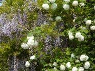 Viburnum opulus(sneeuwbal) en Wisteria sinensis