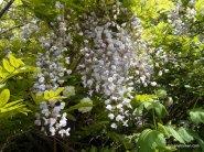 Wisteria sinensis - Blauwe regen.