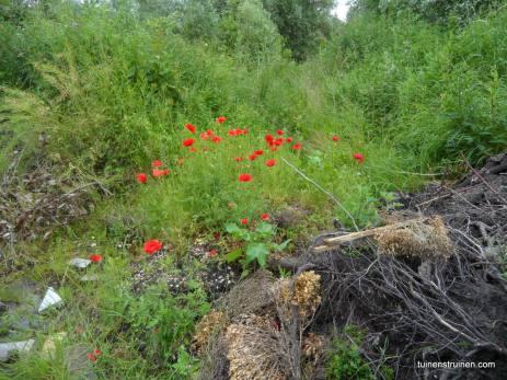 Wilde flora terrein tussen politieburo en Avia Rooswijk,Zaandijk