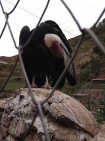 Male Condor