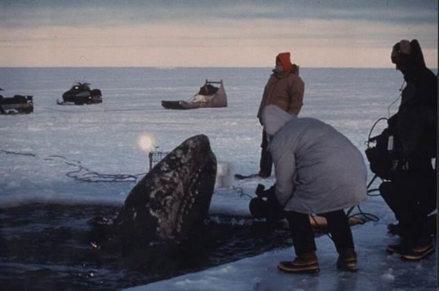 Операция -Прорыв-. Как американцы и русские вместе спасали китов                      ( 13 фото )