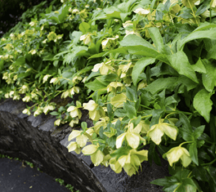 Helleborus/Lenten Rose - Zachary Berger Associates