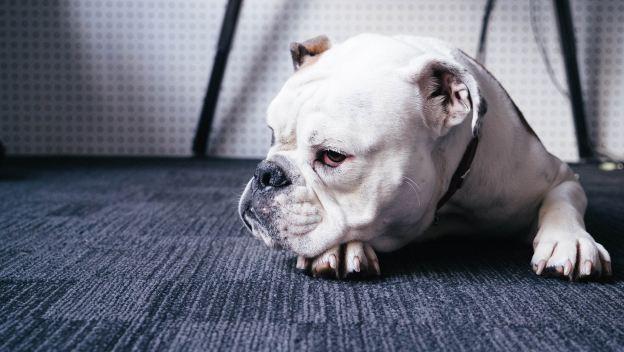 Cute dog on some Colorado carpet tile