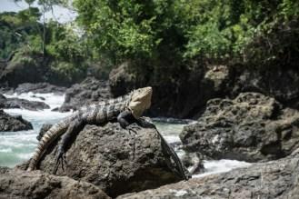 Iguana just Chillin'
