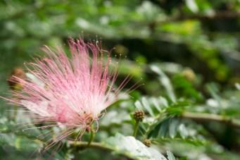 Pink Powder Puff Flower