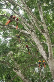 Scarlet Macaws Love This Tree
