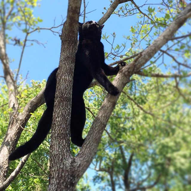 Saw this miniature #panther stalking birds in a tree outside my window today. There's been a black streak zooming across the yard all morning. #magicthecat #crazycat