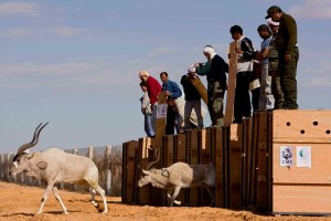 Translocation d'addax et d'oryx en Tunisie. Photo ©Olivier Born.