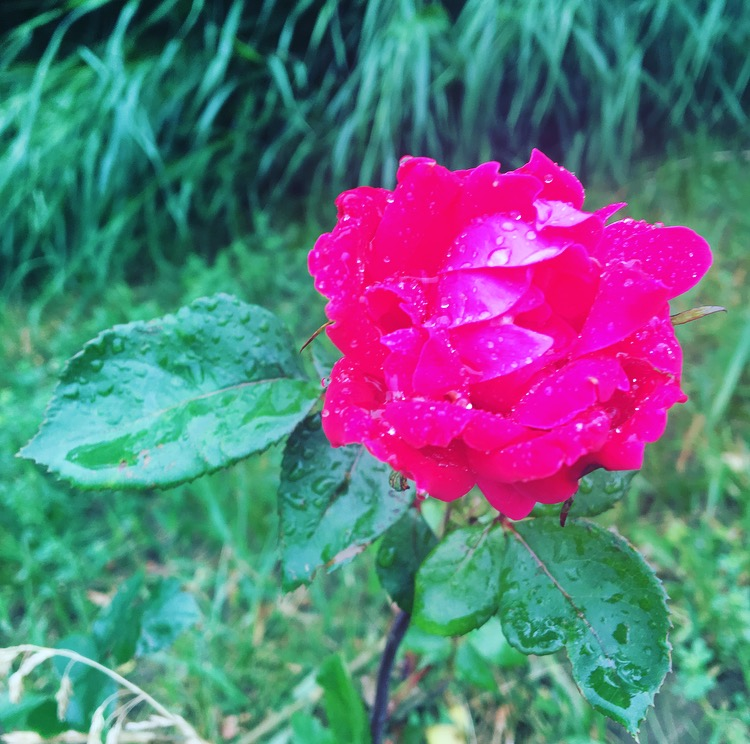 Roses after the rain
