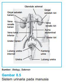 Proses Pembentukan Urin Dalam Ginjal : proses, pembentukan, dalam, ginjal, Pembentukan, Ginjal, BIOLOGI, ONLINE