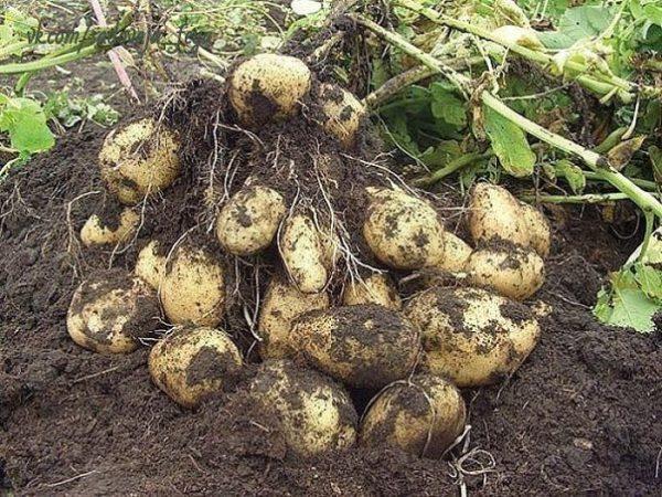 картофи в почвата