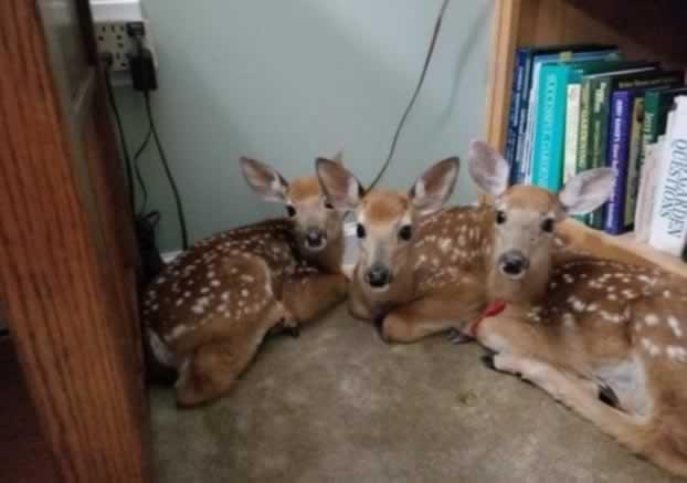 Три малки еленчета