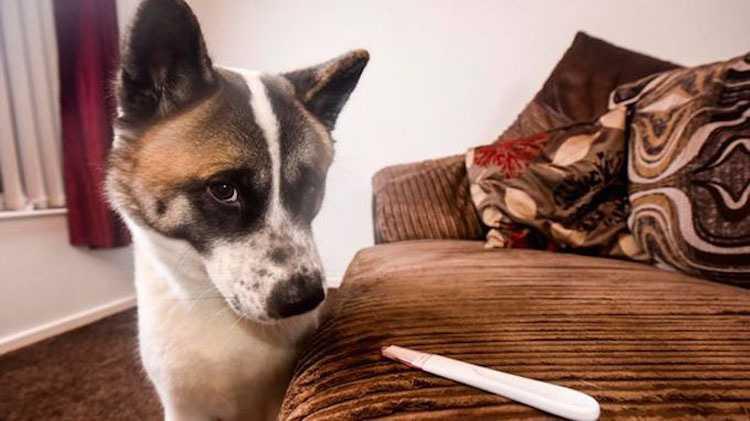 куче и тест за бременност