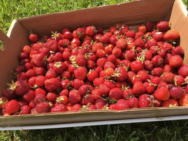 ягоди в щайга