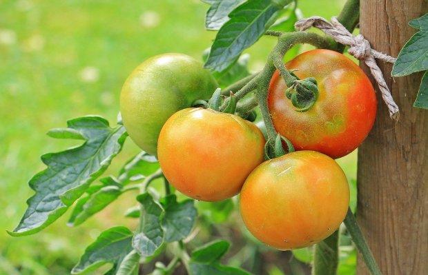 корен домати