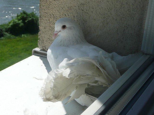 Приметы про голубей: к чему прилетает белая птица, что ожидать если увидели на улице, во дворе