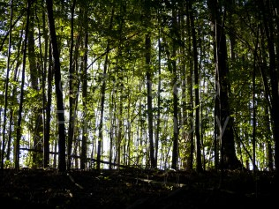 forest, foliage, autumn, fall, green, silhouette, woods, trees, falls lake, park, nature, wildlife