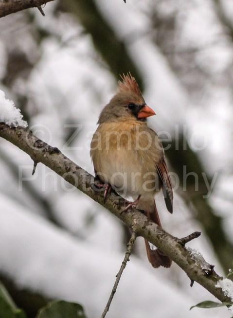 birding, duke gardens, snow, winter