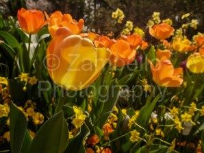 tulip, flowers, spring, duke gardens
