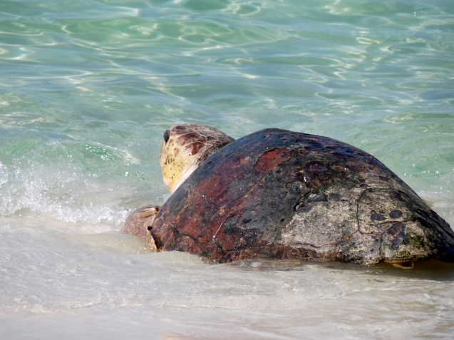 sea turtle, florida