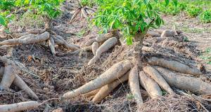 Farmers making a killing with cassava during COVID-19