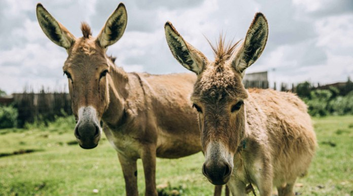 Ban on Kenya's donkey meat trade lifted