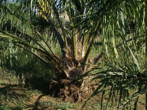 oil-palm-287902_1280