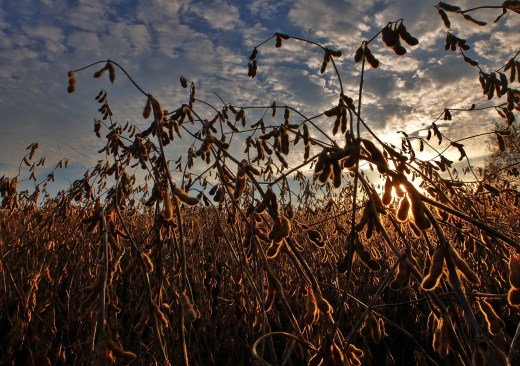 soybeans-2922257_1280