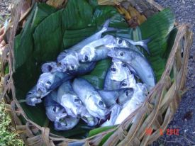 Fresh Mackeral for Sale - Samoa 2012