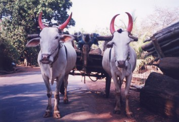 Sacred Cows India