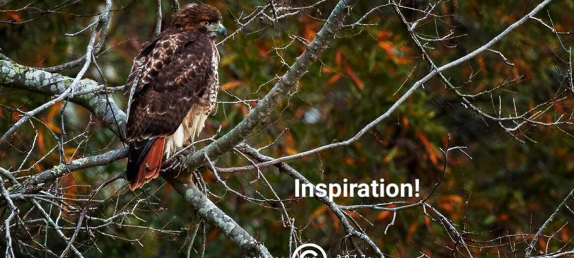 Drawing Red Shouldered Hawk