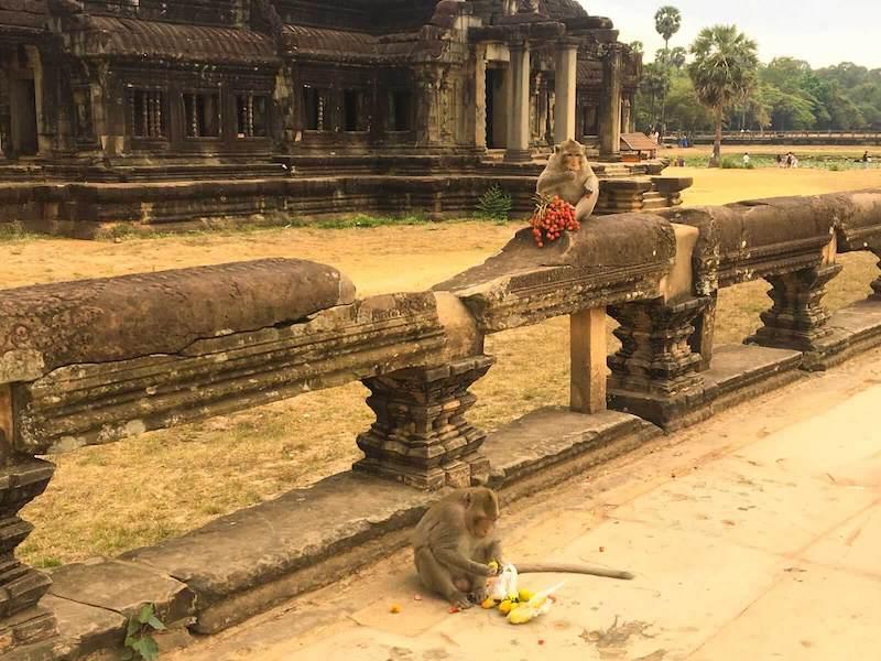 Angkor macacos
