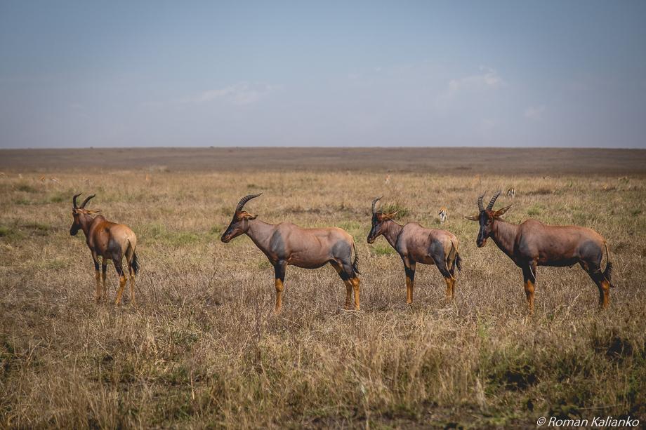 Topi antilopy stojace v rade za sebou