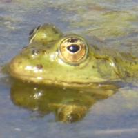 grenouille-P1120377.JPG