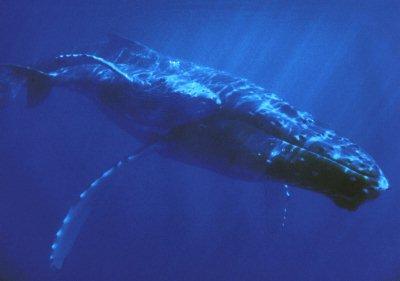 Las ballenas, gigantes del mar (3/4)