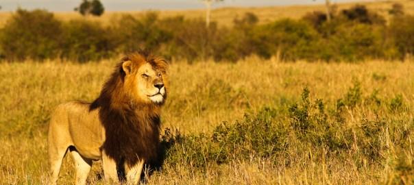Leão em Masai Mara