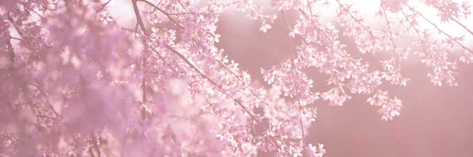 how-dust-of-cherry-blossoms3