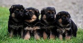 german-shepherd-puppies-for-sale