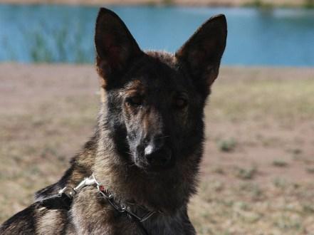 Trained german Shepherd Female for sale in Phoenix