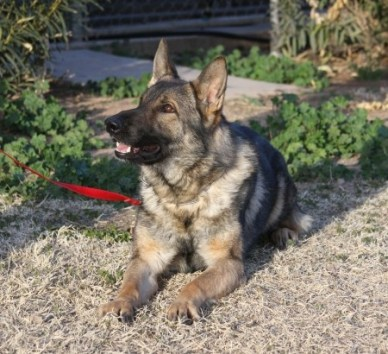 Buying a German Shepherd guide