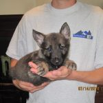 Ryker Vom Zauberberg - German shepherd puppy for sale. Trained German Shepherd Puppies For Sale