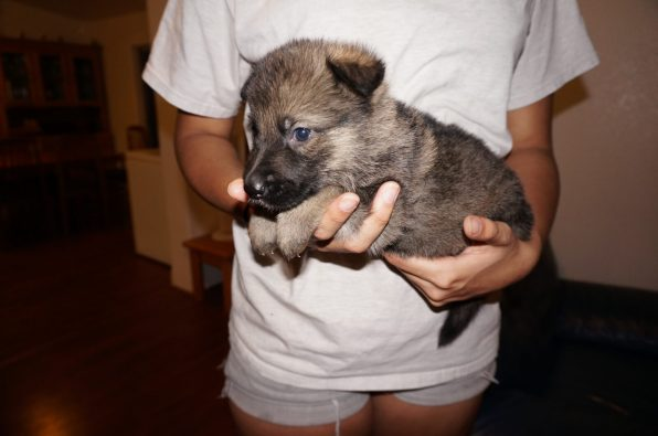 sable german puppy for sale