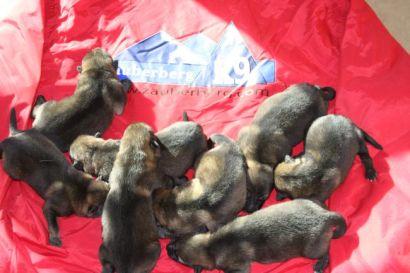 buying German Shepherd Puppies in Phoenix