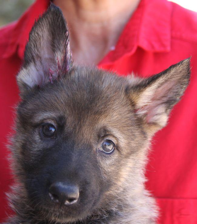 well bred AKC registered German Shepherd puppies