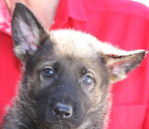 available sable German Shepherd puppies