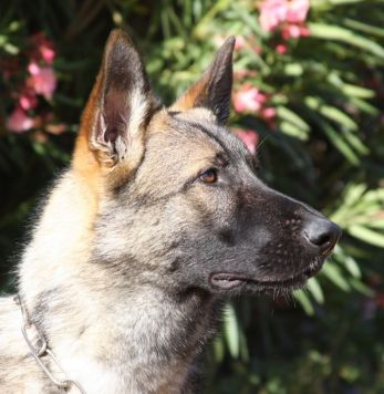 Sven vom Zauberberg trained German Shepherd for sale