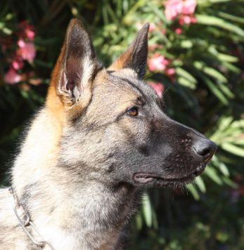 Sven vom Zauberberg trained German Shepherd for sale