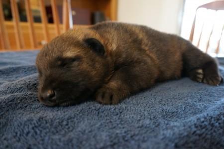 German Shepherd puppy AKC registered