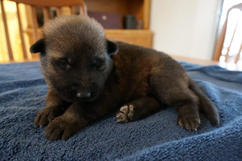 German Shepherd puppy for my family