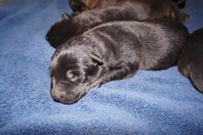 Shepherd Puppies For Sale X Litter vom Zauberberg
